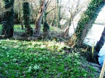 Snowdrops along the river bank