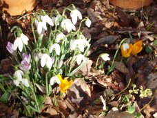 Snowdrops with winter crocus