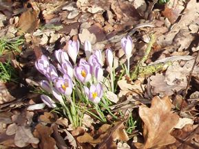 Winter crocuses